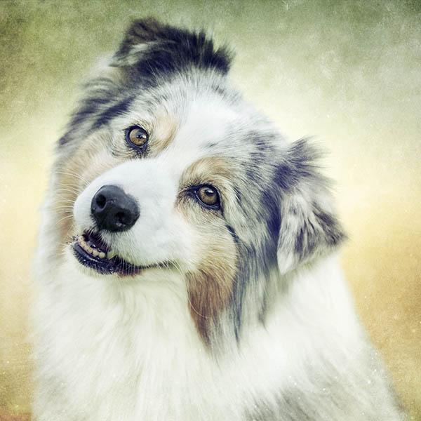 Dog training an Aussie Shepherd