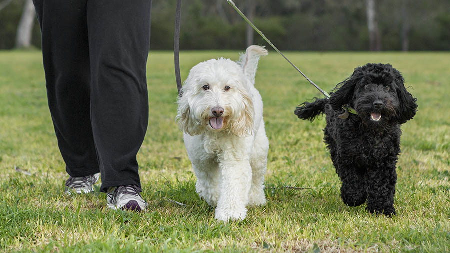 Dogs walking on lead