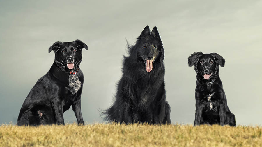 Three sitting dogs on a hill