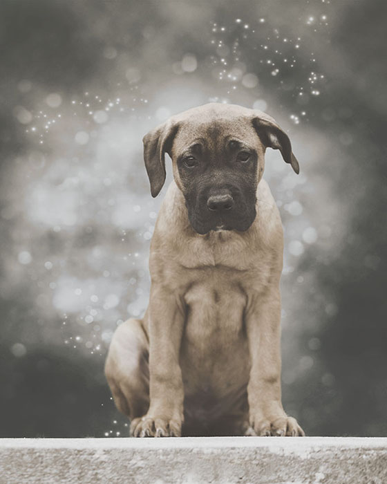Portrait of an English Mastiff puppy