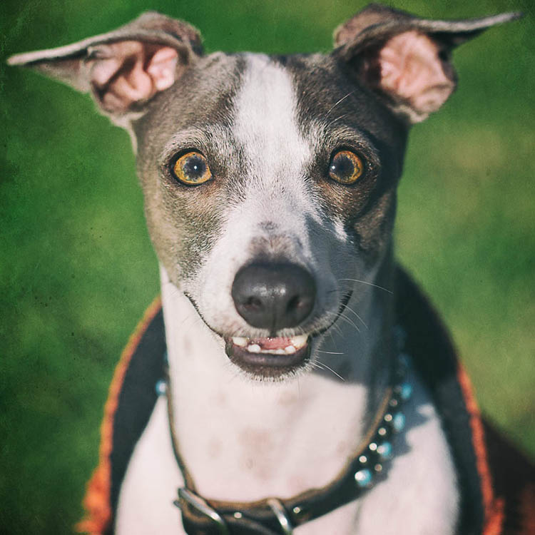 Italian greyhound smiling