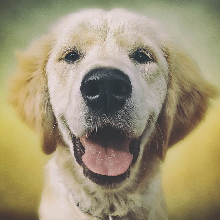 Cookie the Golden Retriever