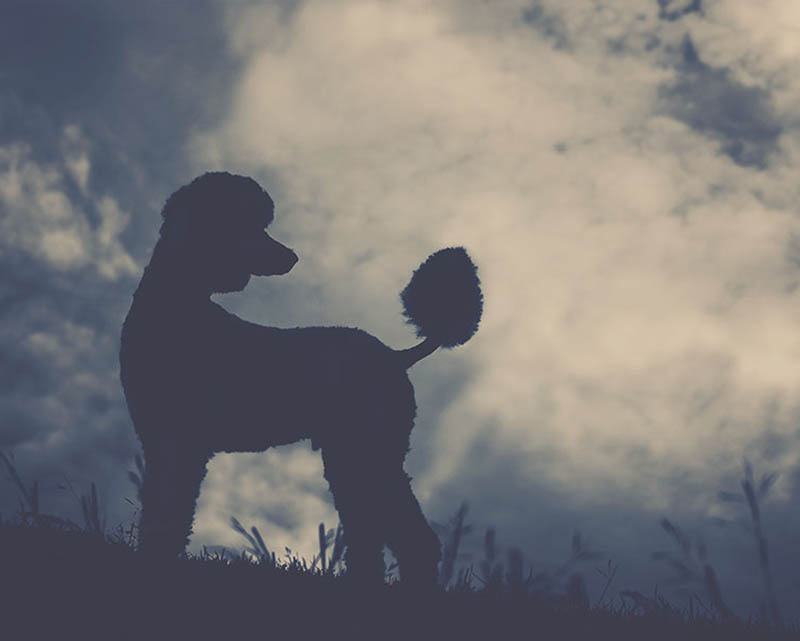 Standard poodle silhouetted against sky