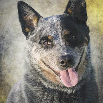 Working dog portrait
