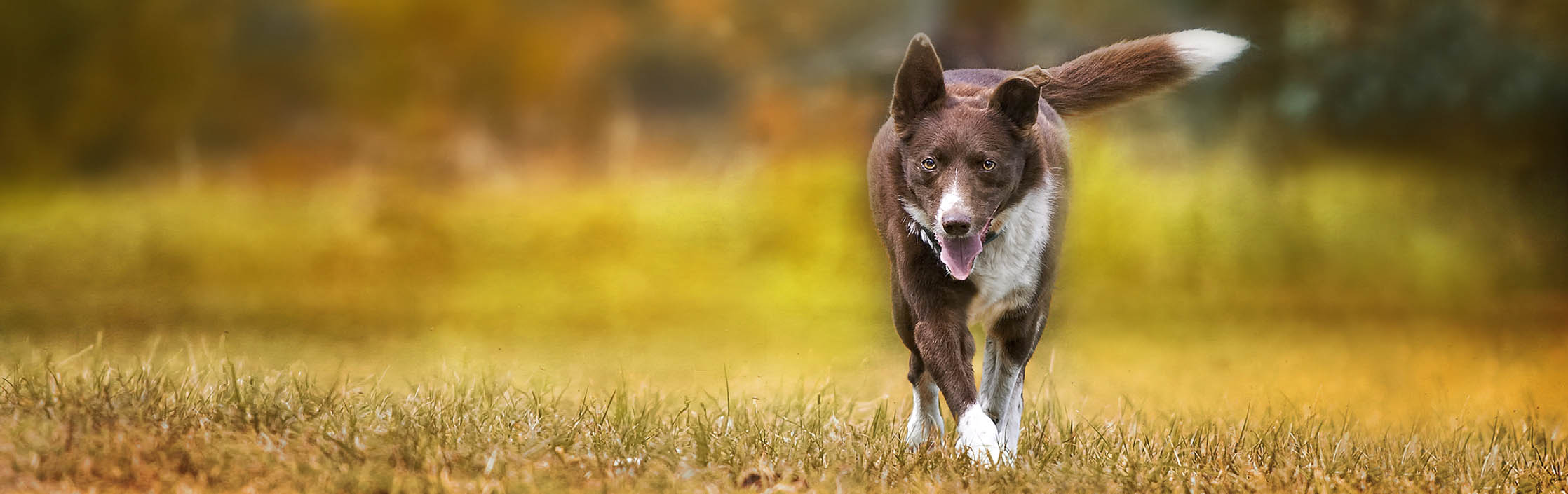 red cattle dog in autumn
