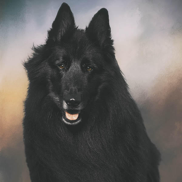 Dog training a Belgian Shepherd