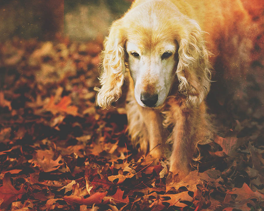 Cocker Spaniel among autumn leaves