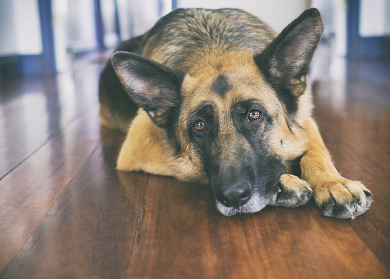 German Shepherd laying down