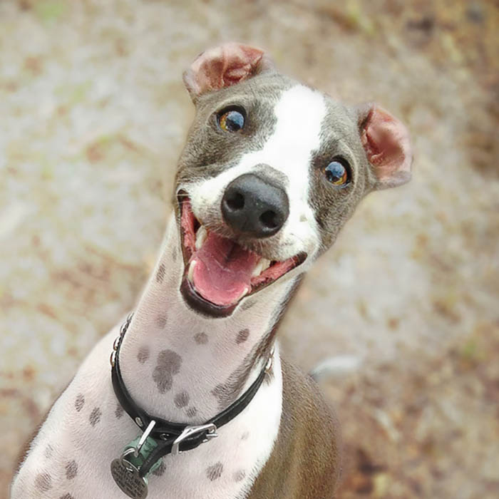 Archie the Italian Greyhound