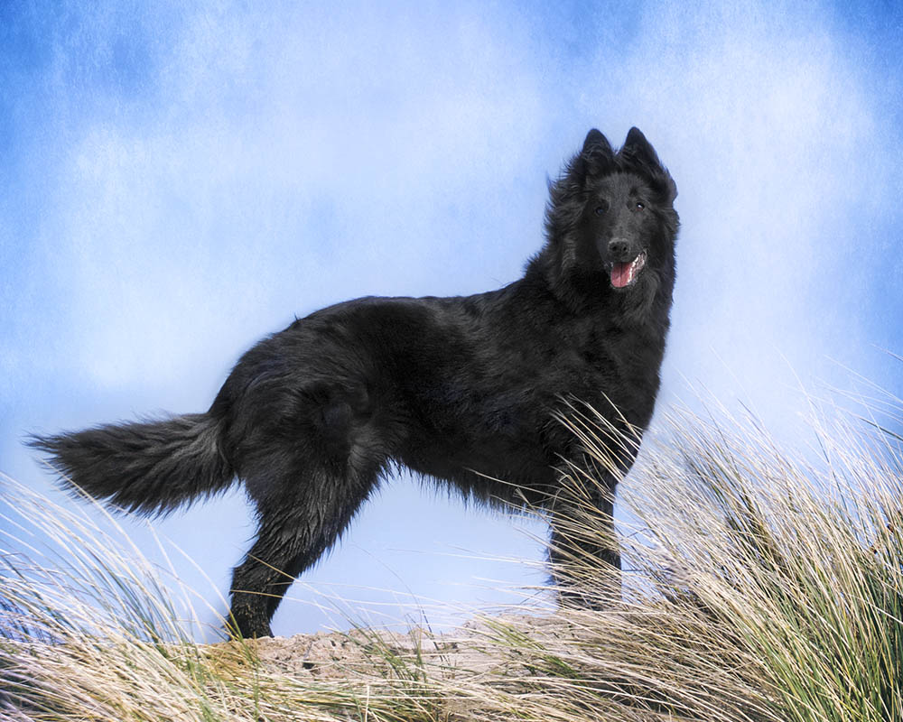 Belgian Sheepdog at the beach