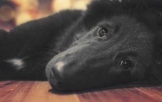 Groenendael puppy laying down