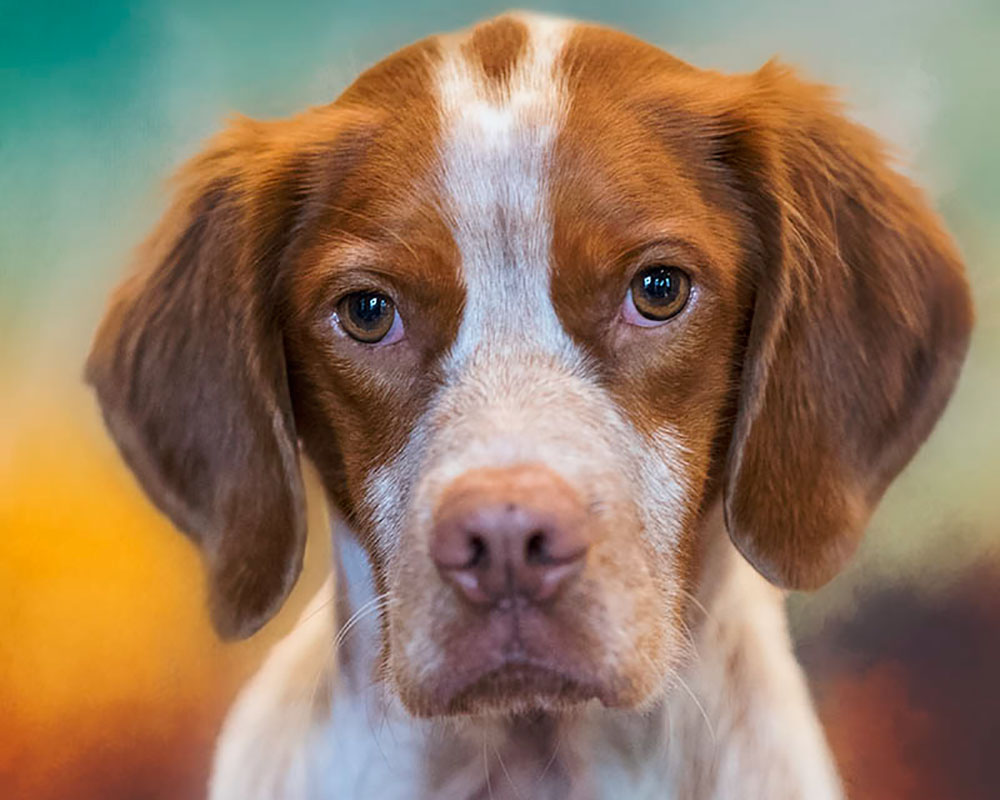 Dog obedience training Coburg with a Brittany Spaniel